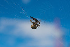Spider eating his prey. Stock Photos