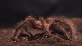 Spider eating his prey stock footage