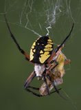 Spider eating hopper Royalty Free Stock Photography