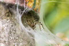 Spider eating a insect. Macro of a Spider eating a Insect in front of the nest Royalty Free Stock Photos