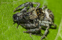 Spider eating insect. A spider eating a small insect royalty free stock images
