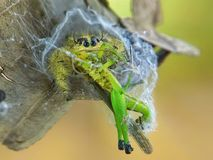 Spider Eating Insect on Spiderweb royalty free stock photos
