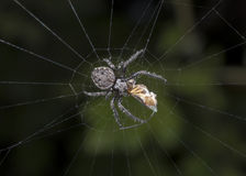 Spider eating. On its web Royalty Free Stock Photos
