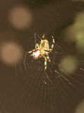 Spider eating a Ladybug Royalty Free Stock Photography