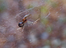 Spider eating little fly macro Royalty Free Stock Photos