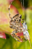 Spider eating a prey Stock Images