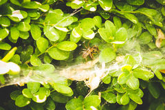 Spider eating prey in its web on a plant Stock Photography