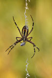 Spider eating Stock Photo