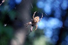 Spider Eating on Web. A spider on a web eating Royalty Free Stock Photos
