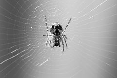 Spider eating on web Stock Photos