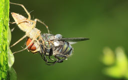 Spider eats a fly. A spider is eating a fly , hanging on a leaf Stock Photo