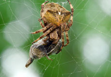 Spider eats its prey macro Royalty Free Stock Photography
