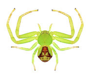 Spider Ebrechtella tricuspidata (female) Royalty Free Stock Image