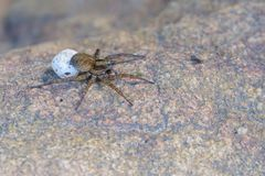 spider with egg bag Stock Image