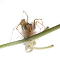 Spider with egg case Stock Image
