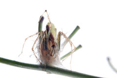 Spider with egg case Royalty Free Stock Photo
