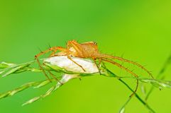 Spider With Egg Sac Stock Photo