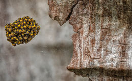 Spider Eggs Nest in Crevice of Tree Bark. Macro shot of Spider Egg Nest Hanging in a Web from Tree Bark Royalty Free Stock Image