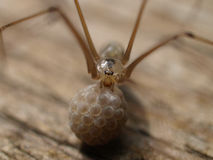 Spider with egss. A mother spider protecting her eggs carrying them Stock Image