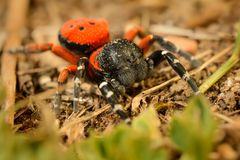 Spider Eresus moravicus - male Stock Image
