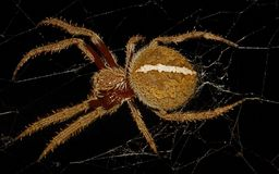 Spider (Eriophora transmarina) Royalty Free Stock Image