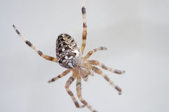 Spider. European Araneus diadematus spider sitting still in the afternoon overcast Stock Images