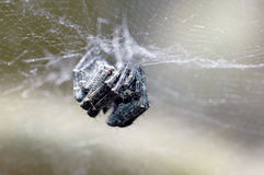 Spider eyes Royalty Free Stock Photography