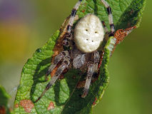Spider of family Argiopidae. royalty free stock image