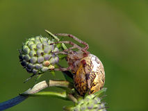 Spider of family Argiopidae on a flower. Royalty Free Stock Image
