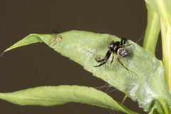 Spider Family on a leaf Stock Images