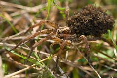 Spider with family Royalty Free Stock Photography