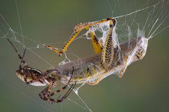 Spider with fangs in hopper. A female banded argiope spider is biting a hopper caught in her web stock image