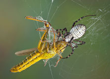 Spider with fangs in hopper's head Stock Photo