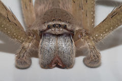 Spider fangs Stock Images