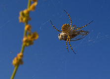 Spider feed on cicada. On blue background royalty free stock images