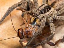 Spider feeding on a house cricket. Spider Hogna radiata fedding on a house cricket royalty free stock photography