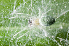 Spider feeding. Nigma walckenaeri; a green cribellate spider up to five millimetres long, the largest of the family Dictynidae Royalty Free Stock Images