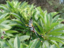 Spider female. On the web,very small male in the background Royalty Free Stock Photo