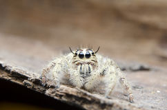Spider. The female spider on leaf Stock Photography