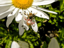 The Spider and the flies....and a Bee. Stock Photos