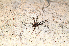 Spider on floor. Close-up Royalty Free Stock Photo