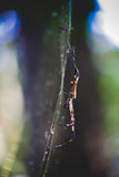 Spider in Florida Royalty Free Stock Photos