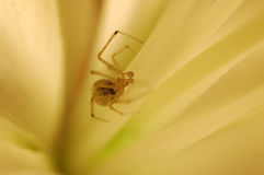 Spider in a flower. A small spider inside of flower royalty free stock photography
