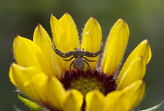 Spider on a flower Royalty Free Stock Photo