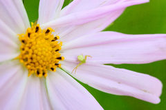 Spider and flower. Spider lying in the petals Stock Images