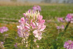 Free Spider Flower. Stock Photo - 49633980