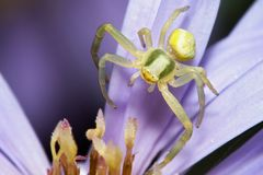 Spider on flower. Extreme macro of a small spider on flower Stock Image