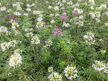 Spider flower or Cleome psinose royalty free stock photo