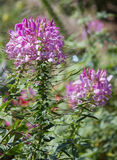 Spider flower or cleome spinosa flower Stock Photos