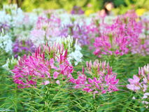 Spider flower - Cleome spinosa Stock Photos